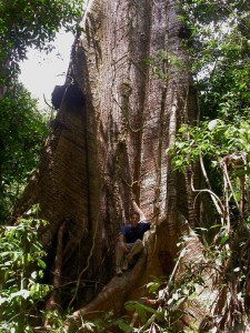 Bruce Hoffman Manager for Field Projects ACT Suriname, sitting on a Ceiba pentandra